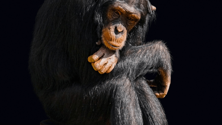 szympans na krześle