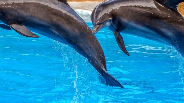 dwa delfiny skaczące nad błękitną wodą